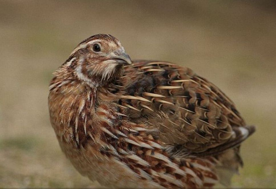 Jumbo coturnix quail - photo#1